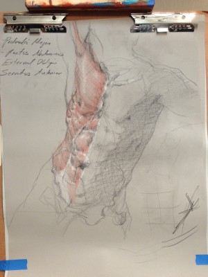 Ecorche drawing of the chest and stomach muscles of James. No one was flayed for this drawing.